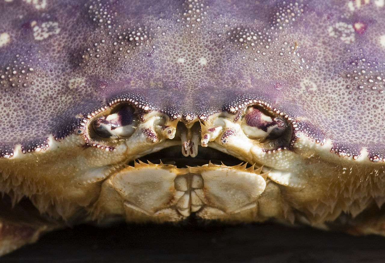 Dungeness crab face